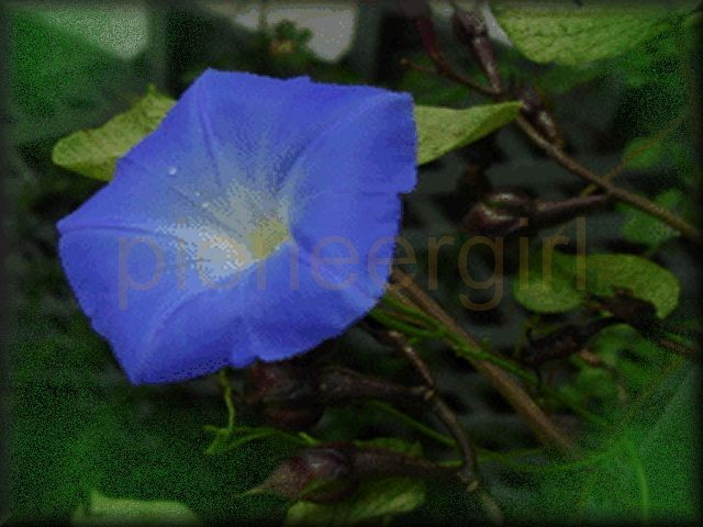 morning-glory