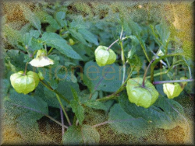 ground-cherry