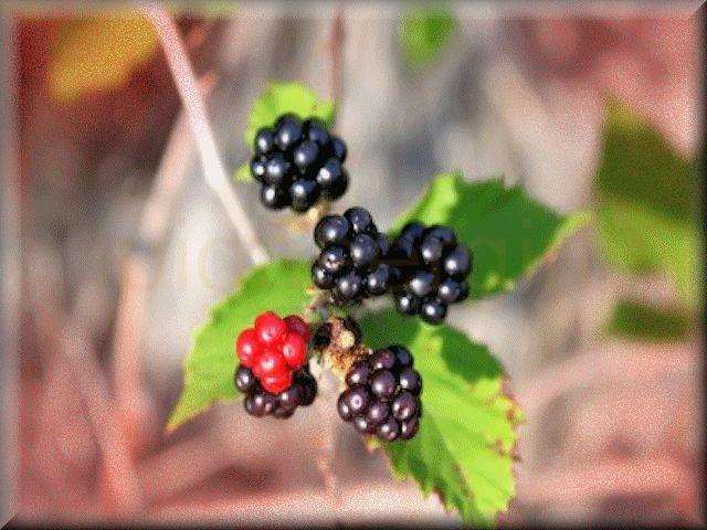 black-berry / blackberry