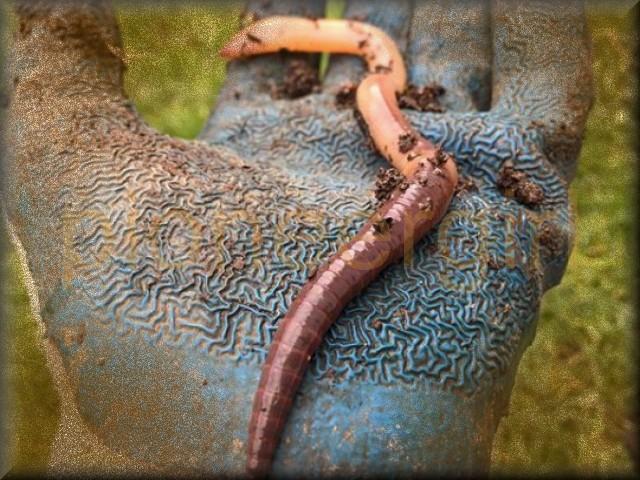 worm / angleworm